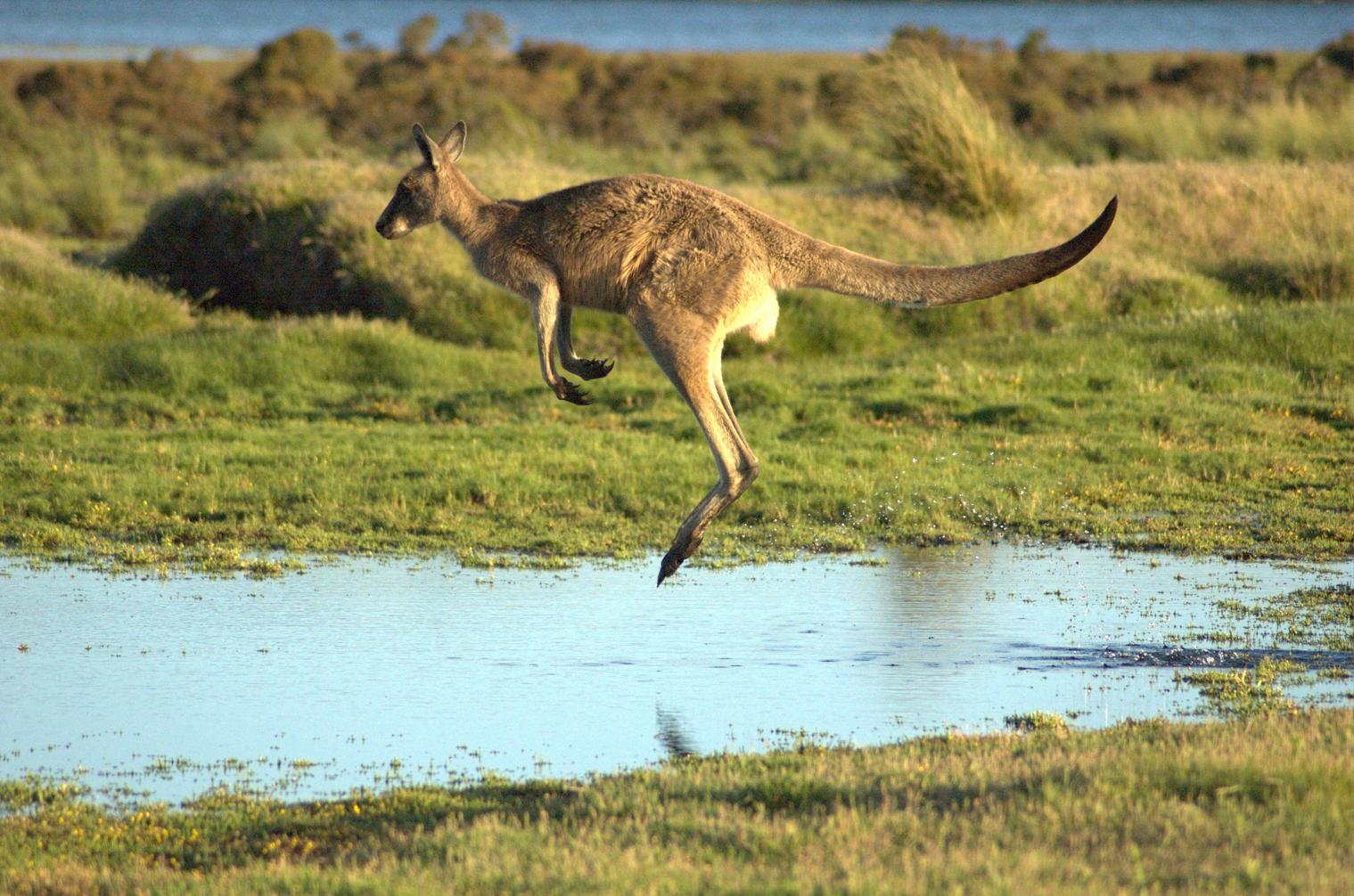 Flying-kangaroo